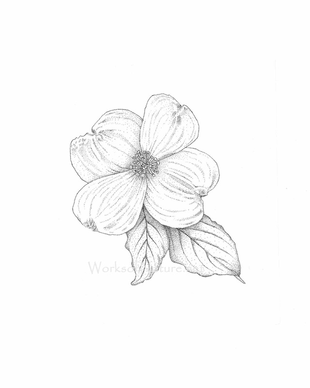 Dogwood Flower Line Drawing : Dogwood tree line drawings